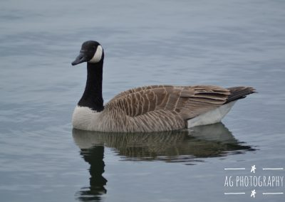 The Majestic Canadian Goose in the Lake || by AG Fotography