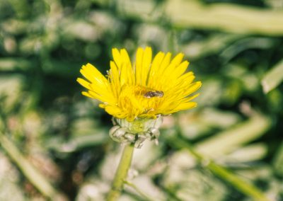 Dandelion Bee Pollination || by AG Fotography