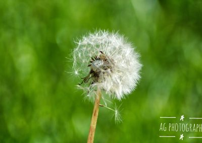 A Dandelion begins to disperse || by AG Fotography