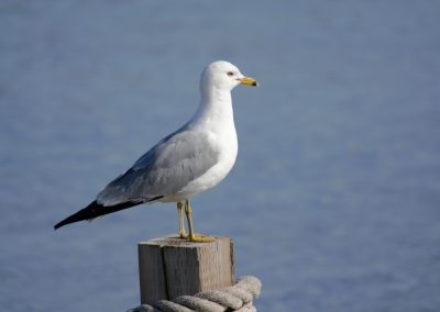 Seagull on guard || by AG Fotography