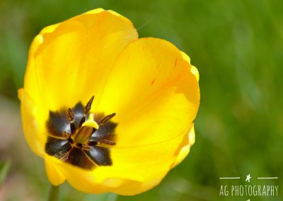 Close Up Yellow Tulip with blurred background || by AG Fotography